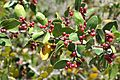 Simmondsia chinensis Jojoba სიმონდსია.JPG