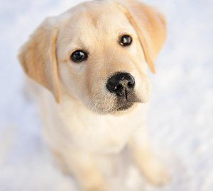 Simon the pure-bred Yellow Labrador Retriever