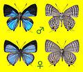 Sinthusa natsumiae, male and female.JPG