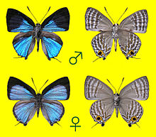 Sinthusa natsumiae, male and female.JPG
