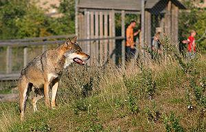 Skandinavisk Dyrepark - A grey wolf in the park
