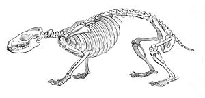Hedgehog - Hedgehog skeleton
