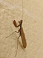 Small Mantis (Mantidae, Amelinae) (Id ?) (17390479101).jpg