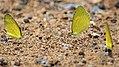 Small grass yellow butterfly.jpg