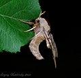 Smerinthus ocellata ocellata.jpg