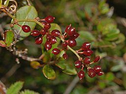 Smilacaceae - Smilax aspera - Salsapariglia