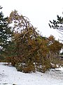 "Snow and tree damage from Lake Storm ""Aphid"" at UB North Campus, October 2006 (01).jpg"
