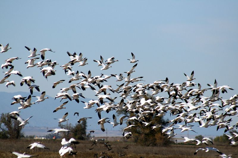 File:Snow geese flying at Sacramento wildlife refugee.jpg