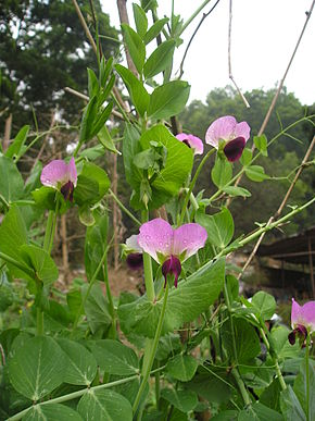 Description de l'image  Image:Snow pea flowers.jpg.