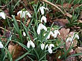 Snowdrops at Gissing - geograph.org.uk - 134839.jpg