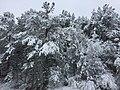 Snowy pine trees in Cherokee County, Dec 2017.jpg