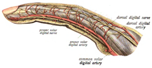 Proper palmar digital arteries - Lateral aspect of finger, with artery labeled a proper volar digital artery.