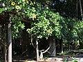 Solandra maxima by Scott Zona - 001.jpg