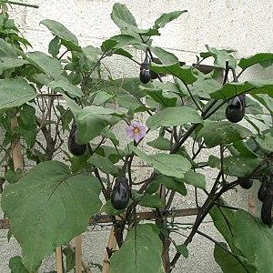 Solanales - Solanum melongena (Aubergine)