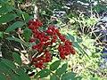 Sorbus americana 5-eheep (5098078708).jpg