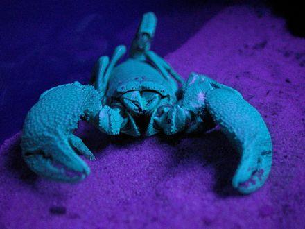 Scorpion - Wikiwand