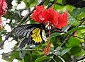 Southern Birdwing by Dr. Raju Kasambe DSCN7505 (14).jpg