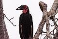 Southern Ground Hornbill (m) (27921344010).jpg