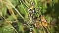 Southern Hawker dragonfly (10207765413).jpg