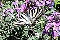 Southern scarce swallowtail (Madrid, Plaza de España) (34356192365).jpg