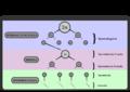 Spermatogeneza-schemat.png