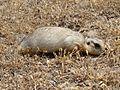 Spermophilus fulvus Baikonur 05.jpg