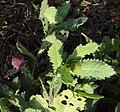 Sphaeranthus indicus 05.JPG