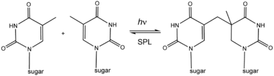 Spore photoproduct lyase (reaction diagram).png