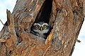 Spotted Owlet staring from tree cavity.jpg