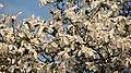 Spring in botanic garden - Cluj-Napoca (3438767273).jpg