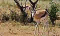 Springbocks (Antidorcas marsupialis) (6628864755).jpg