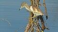 Squacco Heron (Ardeola ralloides) (6017637665).jpg