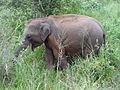 Sri Lankan Elephant in Hurulu Eco Park 47.JPG