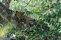 Sri Lankan Leopard Cub.jpg