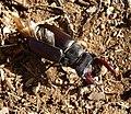 Stag Beetle. Lucanus cervus. Lucanidae - Flickr - gailhampshire (1).jpg