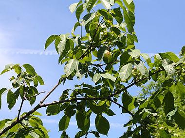 Staphylea trifolia SCA-5111.jpg