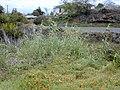 Starr-010419-0058-Arundo donax-habit in gulch-Kula-Maui (24423957932).jpg