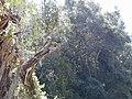 Starr-020226-0045-Eucalyptus sp-Erkels francolin in tree-Kokee-Kauai (24251373430).jpg
