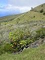 Starr-030628-0022-Bocconia frutescens-habit-Auwahi-Maui (24009037733).jpg