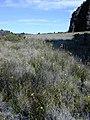 Starr-031001-0108-Oenothera stricta subsp stricta-habit-Waikau trail HNP-Maui (24554567272).jpg