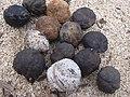Starr-040323-0079-Aleurites moluccana-beach flotsam-Kanaha Beach-Maui (24699746285).jpg
