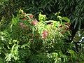 Starr-050517-1483-Antigonon leptopus-flowers-Ualapue-Molokai (24645217572).jpg