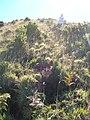 Starr-051122-5255-Leptecophylla tameiameiae-habit-Haleakala Ranch-Maui (24221251444).jpg