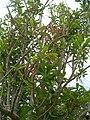 Starr-060429-7993-Charpentiera obovata-habit-Auwahi-Maui (24494818639).jpg