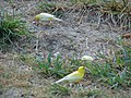 Starr-080531-4705-Eleusine indica-habit with canaries-Housing area Sand Island-Midway Atoll (24283728143).jpg