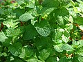 Starr-080531-4867-Mentha spicata-leaves-Halsey Dr around residences Sand Island-Midway Atoll (38796990771).jpg