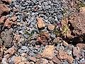 Starr-090504-7283-Vicia sativa subsp nigra-flowering and fruiting habit-Science City-Maui (24927957756).jpg