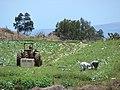 Starr-090519-8041-Brassica oleracea var capitata-crop with workers in field-Kula-Maui (24837700992).jpg