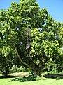 Starr-091104-0867-Calophyllum soulattri-habit-Kahanu Gardens NTBG Kaeleku Hana-Maui (24620117769).jpg
