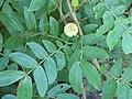 Starr-091104-9188-Calliandra haematocephala-leaves and flower bud-Kahanu Gardens NTBG Kaeleku Hana-Maui (24621149499).jpg